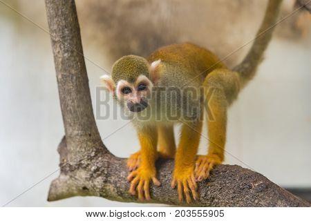 Common Squirrel Monkey, Saimiri Sciureus On Tree In Zoo