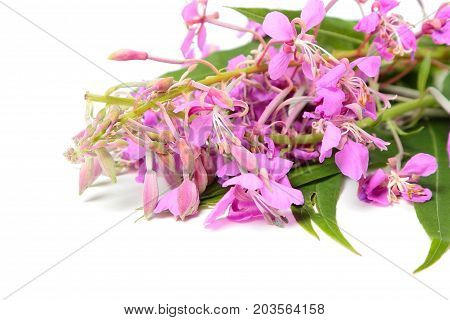 A bunch of Ivan tea flowers isolated on white background