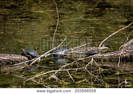 Turtle went out on the snag and basking in the sun in swampy areas.