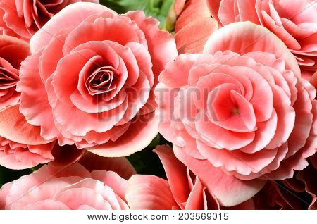 Flower background pink begonias symbol of love and desire for floral wallpaper