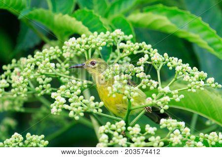 Brown Neck Sunbird