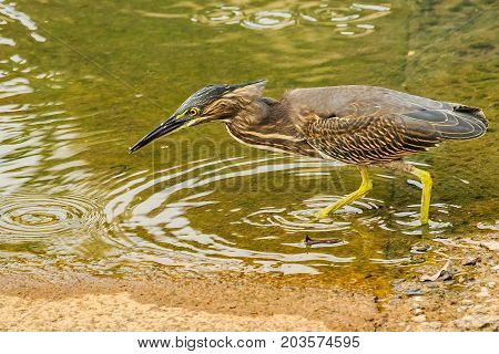 Brown Striated Heron