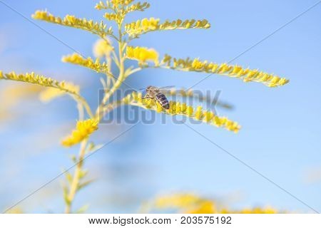 Solidago, goldenrod yellow flowers in summer. Lonely bee sits on a yellow flowering goldenrod and collects nectar