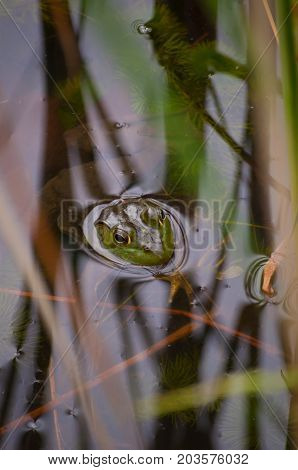 A bullfrog hiding in the reeds of a pond with the reeds reflecting upon the water's surface