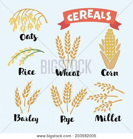Vector illustration of cereal grains with inking and lettering names in English. Icon set with rye rice wheat corn oats millet barely rice grain