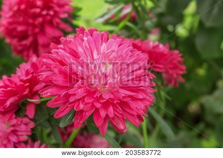 Bright red asters in the garden in September