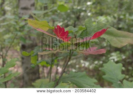 Branch Of An Oak With Crimson Red Young Foliage