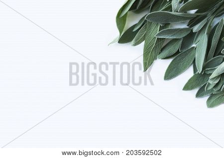 Fresh sage leaves on white background. Top view. Sage with copy space for text.