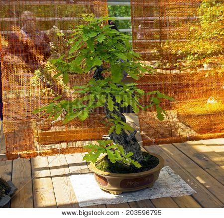 English Oak - Bonsai In The Style Of