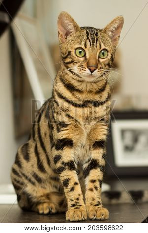 Bengal cat breed at the age of 5 months sitting on the bedside table