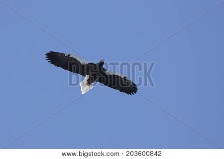 Adult Steller's sea eagle hovering over the ocean on a sunny winter day