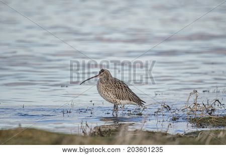 Curlew Standing In The Sea, By The Shoreline