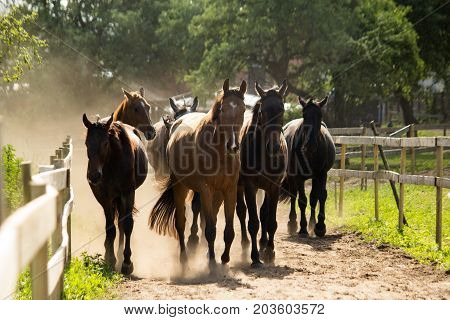 Herd Of Horses Walking To The Pasture In The Morning