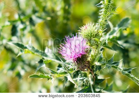 Cirsium Vulgare, Spear Thistle, Bull Thistle, Common Thistle, Short Lived Thistle Plant With Spine T