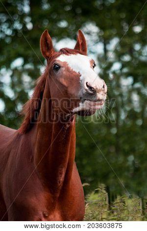 Portrait Of Funny Chestnut Horse Smiling