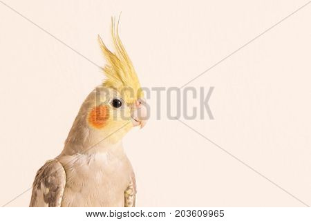 Curious Cockatiel face portrait Isolated on white background