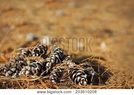 A pile of long pine-cones lay on the forest floor framing a background of orange winter pine needles.