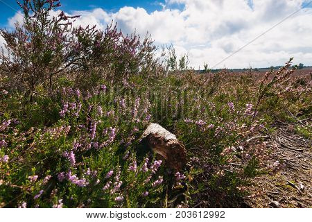 Blooming heath plant and a dead piece of birch tree with white bark. Well-lit in the sunlight with wide views over heathlands and splendid white clouds above the nature landscape