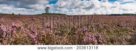 View of Blooming heath landscape in September. Dutch Veluwe. Beautiful pile of clouds with Dutch skies. Renderklippen Heerde Epe.