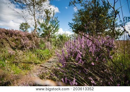 Purple flowering heaths and bushes on the Renderklippen near Epe Heerde on the Dutch Veluwe. The end of summer and the entrance of autumn.