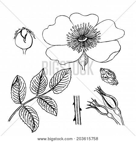 Rosa canina. Dog-rose. Flowers, berries, leaves stem Liner illustration isolated