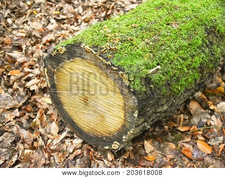 Felled tree log left in the middle of the forest - reclaimed by nature