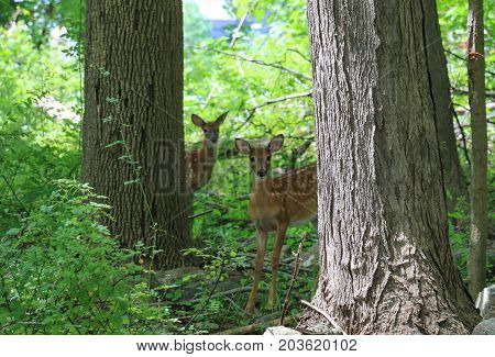 Two curious whitetail fawns looking out from the woods.