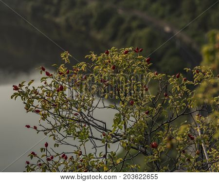 Brier bush with red fruit ball in summer morning