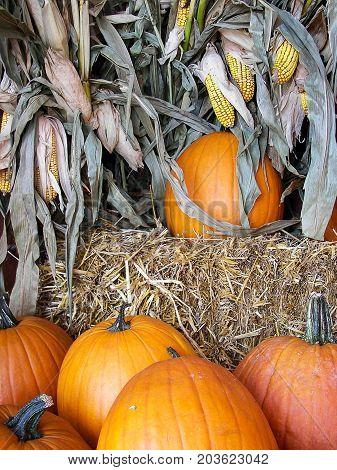 orange autumn pumpkins with hay bales and corn stalk