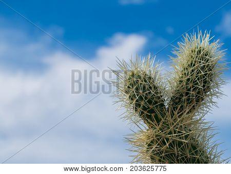 Cholla cactus in the blue sky, Arizona desert. USA.