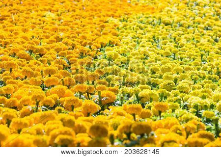 Field of Marigolds (Tagetes erecta Mexican marigold Aztec marigold African marigold) in a garden on a sunny day