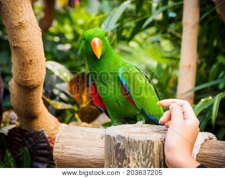 Human arm extends toward male eclectus parrot perched among lush tropical greenery