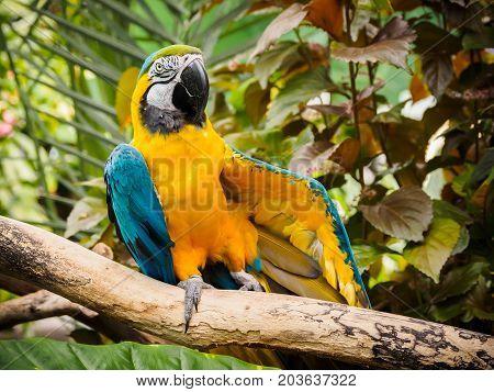 Blue-and-Gold Macaw (Ara ararauna) perched among lush tropical greenery