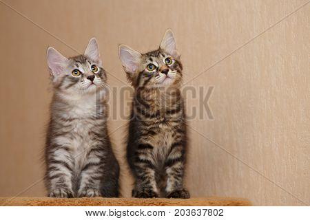 Two cute little kitty bobtail. Pets. Hypoallergenic cat breed. Portrait
