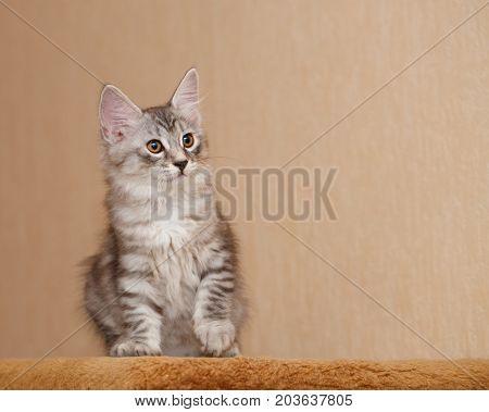 Cute little kitty Bobtail. Pets. Hypoallergenic cat breed. Tabby cat