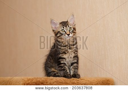Cute little kitty Bobtail. Pets. Hypoallergenic cat breed. Striped short-haired cat