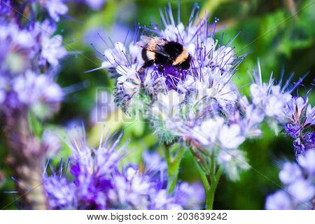 bumblebee sitting on a flower and collects nectar in the feelds