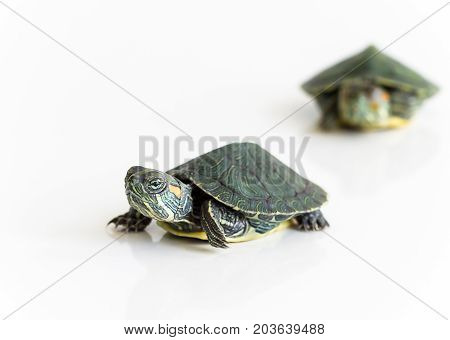 Two Red Eared Slider Turtle (trachemys Scripta Elegans) On White Background. Selective Focus. Close