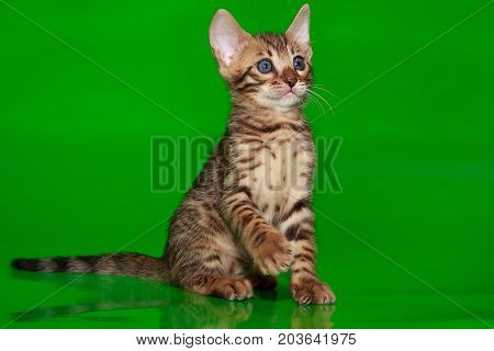 Beautiful bengal kitten with blue eyes. Two month old.