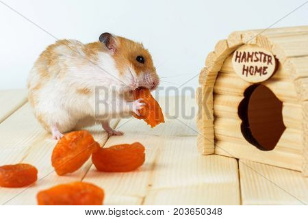 A hamster eats dried apricots near his wooden house.