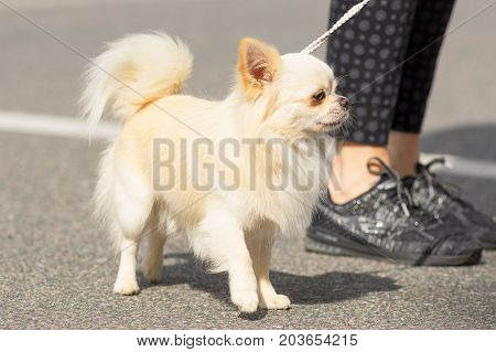 Chihuahua small dog walks next to the owner's boot on the asphalt road Close-up. Space under the text. 2018 year of the dog in the eastern calendar Concept: parodist dogs, dog friend of man, true friends, rescuers.