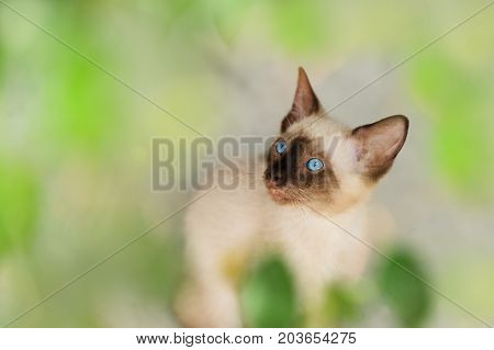 Kitten Siamese cat is a Siamese kitty cat with bright blue eyes.