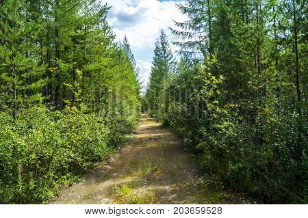 a road in a coniferous forest, needles. a journey, a coniferous forest, a forest shore, a river bank in the taiga
