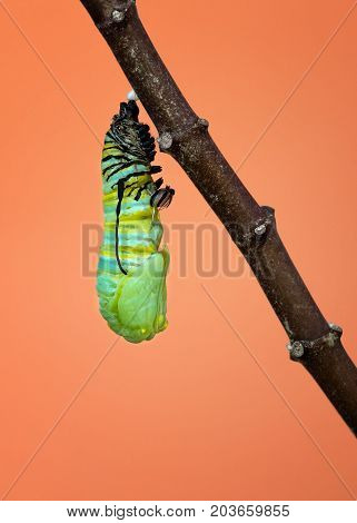 A Monarch caterpillar shedding its skin and pupating as it starts to form its chrysalis on a milkweed branch
