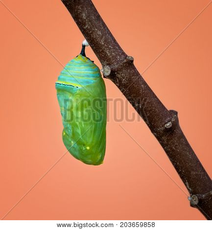 A fresh Monarch chrysalis or pupa attached to a milkweed branch