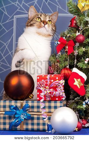 Adult tabby near Christmas spruce with gifts and toys over blue background