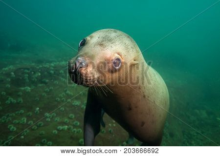 Close up portrait picture of a cute sea lion. Picture taken in Pacific Ocean near Hornby Island BC Canada.