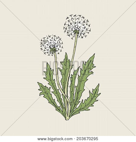Beautiful drawing of dandelion plant with ripe seed heads or blowballs growing on green stems and leaves. Meadow flower or wild flowering herb hand drawn in retro style. Natural vector illustration