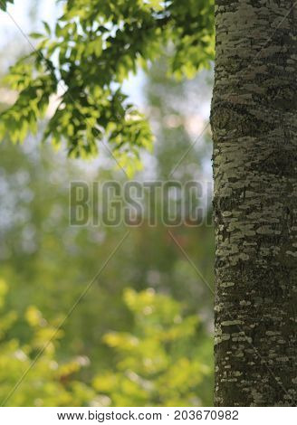 bark and leaves of an ash tree blurred green background back lit