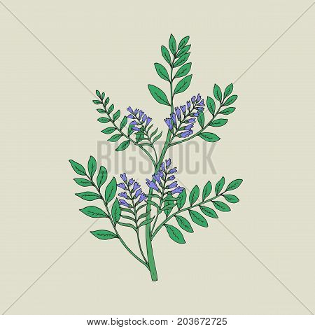 Pretty botanical drawing of blooming licorice plant with inflorescences and leaves. Beautiful flowers hand drawn in vintage style. Herbaceous legume used in medicine. Natural vector illustration